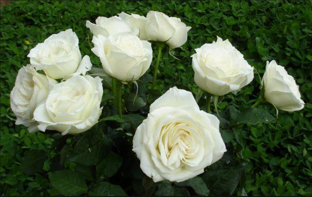 Những loài hoa mang ý nghĩa buồn phù hợp cho đám tang hình ảnh 5