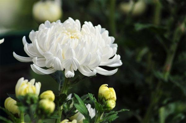các loài hoa tượng trưng cho đám tang