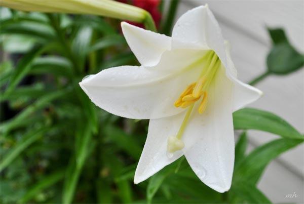 ý nghĩa của hoa huệ trắng - hình ảnh 1